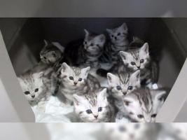 Foto 15 BKH Kater Kitten Katzenbabys Babykatzen in black silver tabby classic vom Züchter
