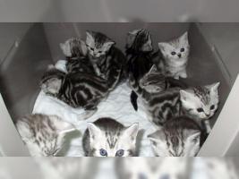 Foto 16 BKH Kater Kitten Katzenbabys Babykatzen in black silver tabby classic vom Züchter