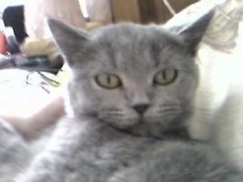 Foto 3 BKH Katze