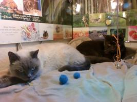 BKH-Katzen auf der Suche nach einem neuen Zuhause