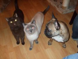Foto 4 BKH-Katzen auf der Suche nach einem neuen Zuhause