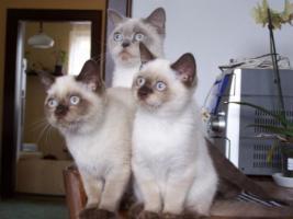 BKH Katzenbabys FIFE