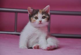 Foto 2 BKH Katzenbabys mit Papiere FIFE