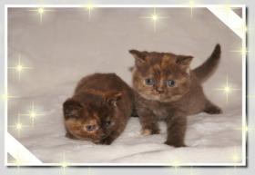 Foto 8 BKH Kitten