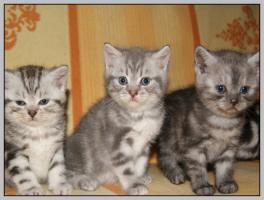 Foto 12 BKH Kitten