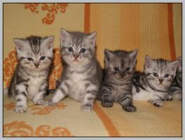 Foto 13 BKH Kitten