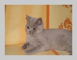 Foto 16 BKH Kitten