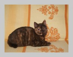 Foto 18 BKH Kitten