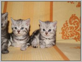 Foto 20 BKH Kitten