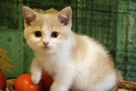 BKH Kitten! Furby, ein creme-weißer BKH-Kater sucht noch Schmusepersonal !
