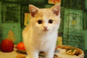Foto 2 BKH Kitten! Furby, ein creme-weißer BKH-Kater sucht noch Schmusepersonal !