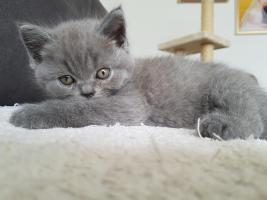 Foto 7 BKH Kitten mit Stammbaum