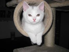 Foto 2 BKH-Kitten ab sofort abzugeben