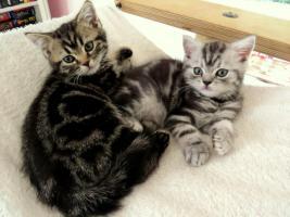 BKH Kitten abzugeben Whiskas Britisch Kurzhaar Silvertabby & Goldentabby