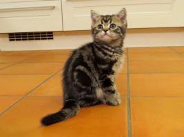 Foto 2 BKH Kitten abzugeben Whiskas Britisch Kurzhaar Silvertabby & Goldentabby