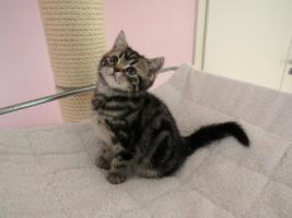 Foto 3 BKH Kitten abzugeben Whiskas Britisch Kurzhaar Silvertabby & Goldentabby