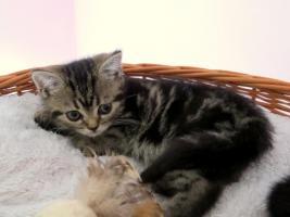 Foto 4 BKH Kitten abzugeben Whiskas Britisch Kurzhaar Silvertabby & Goldentabby