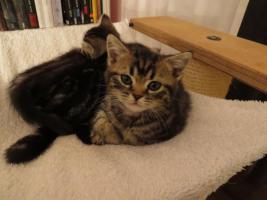 Foto 5 BKH Kitten abzugeben Whiskas Britisch Kurzhaar Silvertabby & Goldentabby