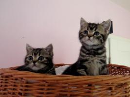 Foto 6 BKH Kitten abzugeben Whiskas Britisch Kurzhaar Silvertabby & Goldentabby