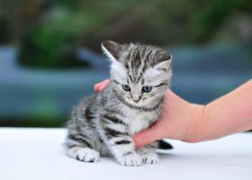 Foto 2 BKH Kitten in black-silver-tabby ''Whiskaskatzen''