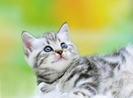 Foto 3 BKH Kitten in black-silver-tabby ''Whiskaskatzen''