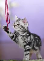 Foto 4 BKH Kitten in black-silver-tabby ''Whiskaskatzen''