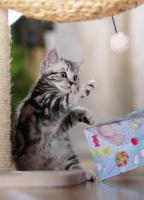 Foto 5 BKH Kitten in black-silver-tabby ''Whiskaskatzen''