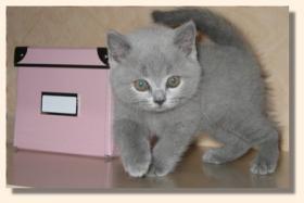 BKH Kitten in blau und black-silver-classic tabby !
