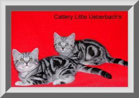 Foto 2 BKH Kitten in blau und black-silver-classic tabby !