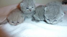 BKH Kitten in lilac und blue