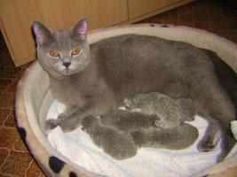 Foto 4 BKH-Kitten reinrassige in Blau