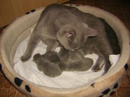 Foto 6 BKH-Kitten reinrassige in Blau