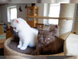 BKH Kitten in der seltene Farbe .