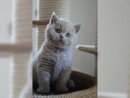 Foto 2 BKH Kitten in der seltene Farbe .