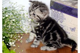 Foto 3 BKH Kitten in der seltene Farbe .