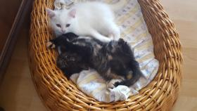 BKH Kitten suchen ab sofort ein liebevolles zu Hause