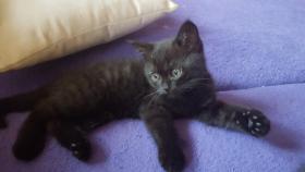 Foto 2 BKH Kitten suchen ab sofort ein liebevolles zu Hause