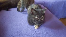 Foto 3 BKH Kitten suchen ab sofort ein liebevolles zu Hause