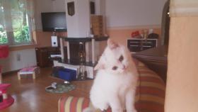 Foto 4 BKH Kitten suchen ab sofort ein liebevolles zu Hause
