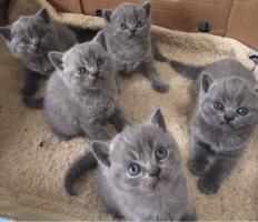 BKH Kitten/whatsapp :: +380632191267