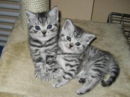 BKH Kitten (whiskas) Katze black silver tabby mit Stammbaum