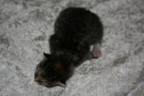 Foto 3 BKH-Mix-Kitten suchen neuen Dosenöffner