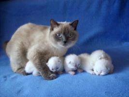 BKH Point-Kitten