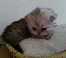 BKH Scottisch Straight/Fold Kitten