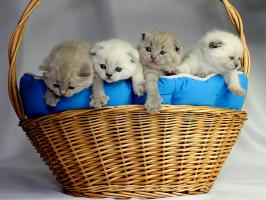 BKH/Scottish Fold  Babys  von Europa Champion!
