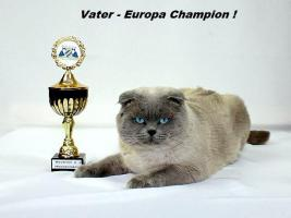 Foto 6 BKH/Scottish Fold  Babys  von Europa Champion!