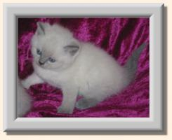 *** BKH blue-point Kitten ***
