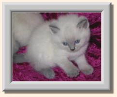 Foto 2 *** BKH blue-point Kitten ***