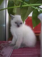 BKH blue-point Kitten mit Papiere