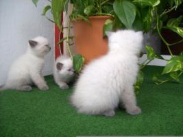 Foto 2 BKH blue-point Kitten mit Papiere